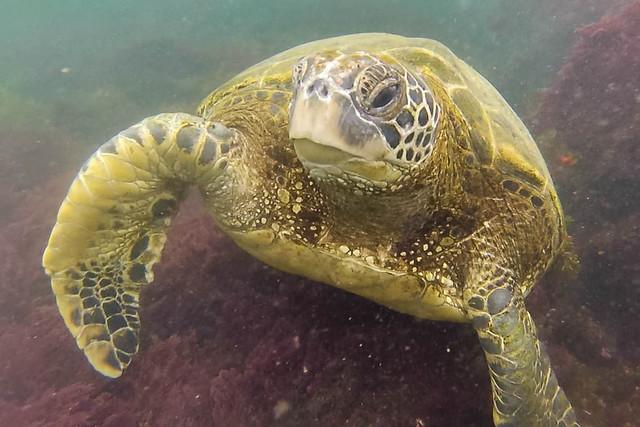 Tortuga marina en islas Galápagos