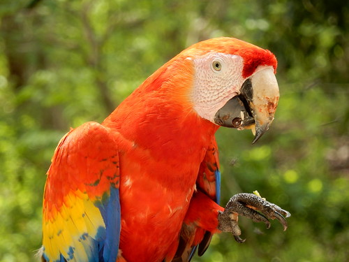 Honduras - Copan - macaw eet fruitje