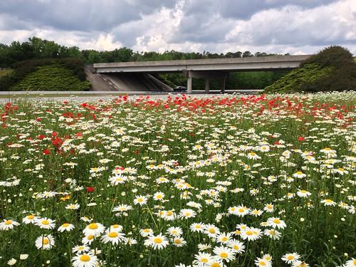 wildflowers ncdotwildflowers