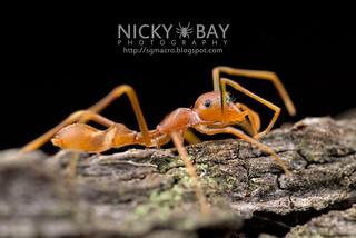 Ant-Mimic Jumping Spider (Myrmaplata plataleoides) - DSC_3829