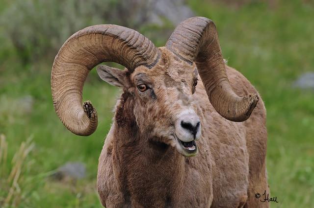 Happy Bighorn Sheep Ram - 9059b+sg
