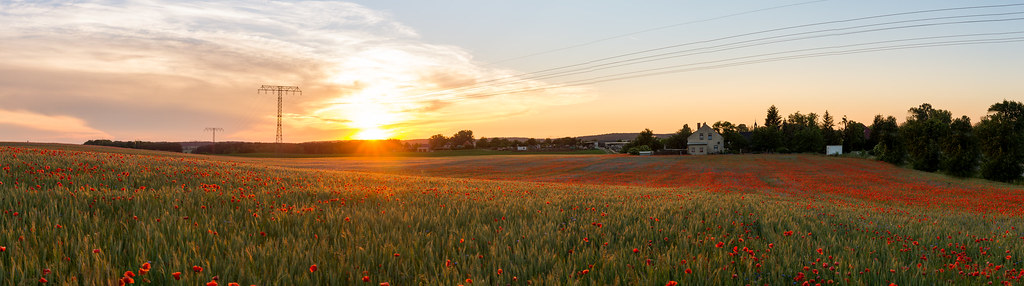Ein Feld mit Mohnblumen in Britz