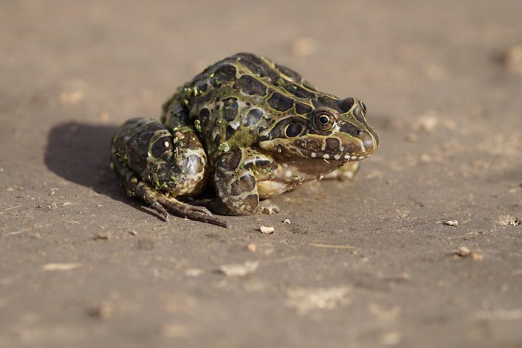 Rana Criolla / Leptodactylus ocellatus