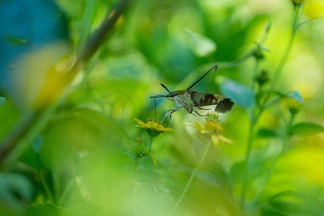 Macroglossum 長喙天蛾