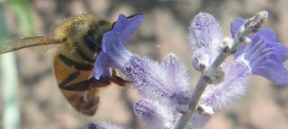 Russian sage offering a snack to a honeybee | by Shawn Caza