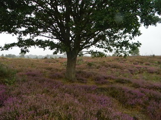 Tree and heather | by moontiger