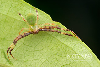 Crab Spider (Thomisidae) - DSC_1247   by nickybay