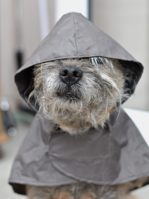 Border Terrier, Mable, dressed for bad weather !.