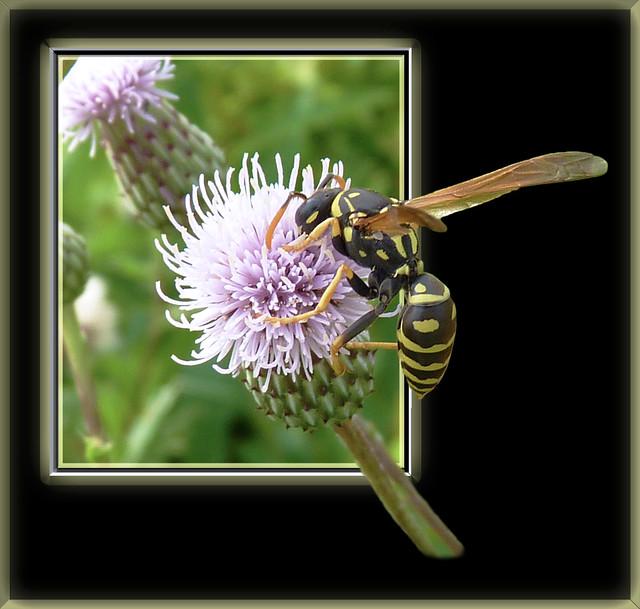 European Paper Wasp OOB
