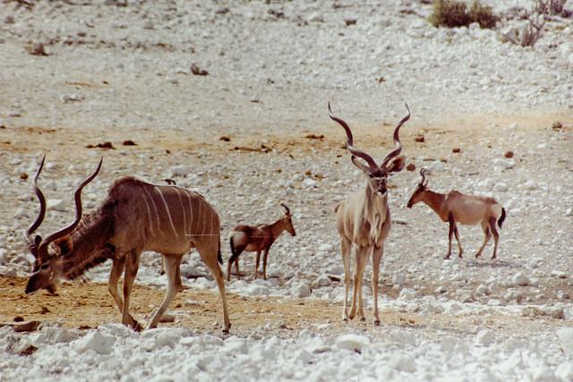 Kudus and bonteboks, Etosha national park, Namibia, 1992