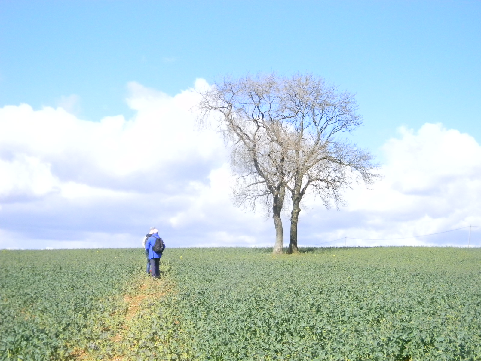 Big field and tree Lenham to Hollingbourne