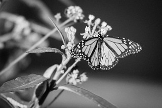 Classic Beauty in Black and White | by StuffNThings