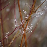 glazed branches
