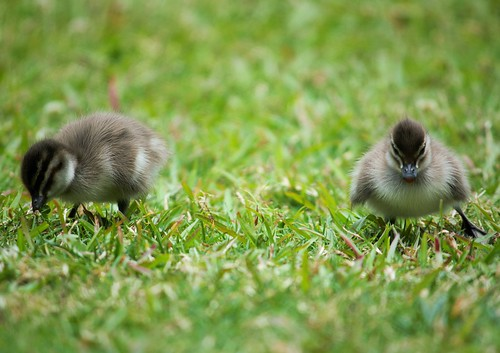 Ducklings enjoying the sun, USC Sippy Downs