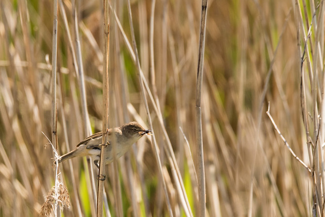 Reed Warbler1