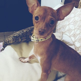 #chihuahua #dog #love #instalike | by marioemiliano