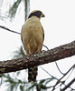 Laughing Falcon, La Concordia, Chiapas, Mexico by Terathopius