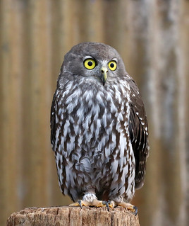 barking owl | by kampang