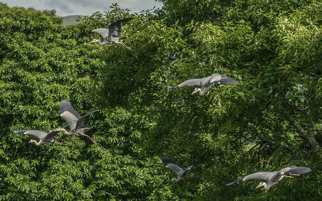 Beware Of The Heron Gang ...