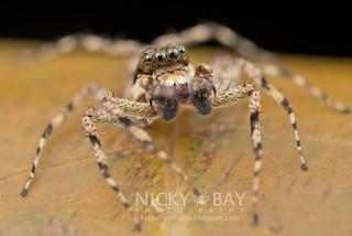 Jumping Spider (Phaeacius sp.) - DSC_3665