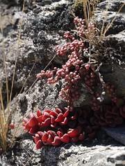 日, 2013-08-18 12:27 - Pinkuylluna登山道に咲いていた花