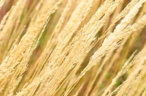 plants macro gardens garden gold nikon wind wheat historic micro 105 annapolis nikkor 105mm annapolisroyal d90 28g annapolisroyalhistoricgardens