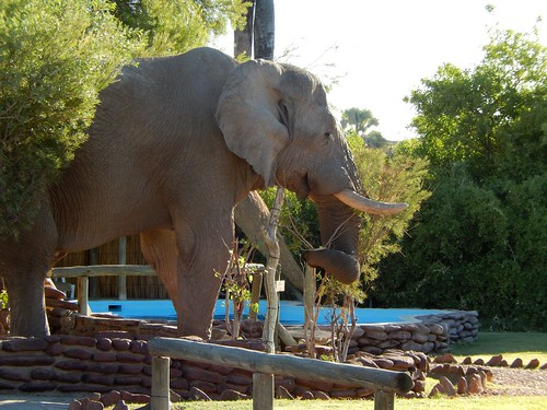 Palwag - olifant steekt over  bij lodge bij zwembad