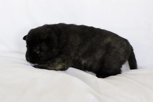 Nori-Litter1-Day20-Puppy2-Female-8 | by brada1878