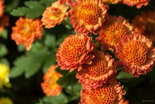Chrysanthemum by yc4646