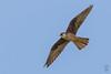 Light morph Eleonora's Falcon (Falco eleonorae)-2534.jpg by Stein Arne Jensen