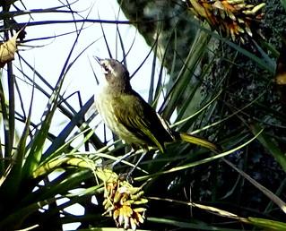 Atrapamoscas de Serranías [Venezuelan Tyrannulet] (Zimmerius improbus) | by barloventomagico