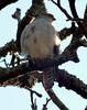 African Little Sparrowhawk by Mandara Birder