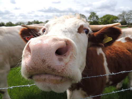 Cow, Tetworth, Cambridgeshire | by orangeaurochs