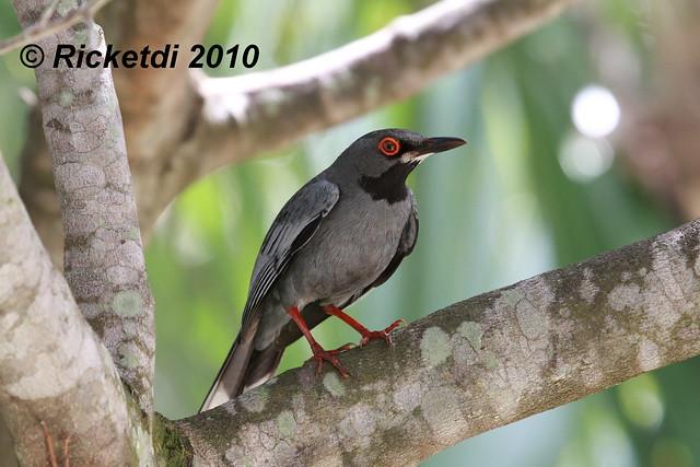 merle vantard - red legged thrush