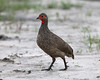 Swainson's Francolin (Francolinus swainsonii) by Lip Kee