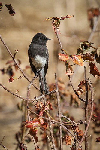 Black Phoebe (Sayornis nigricans) | by Photo Patty