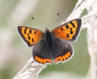 2013_08_11 CUL - Small Copper (Lycaena phlaeas) 04 | by Oretani Wildlife (Mike Grimes)