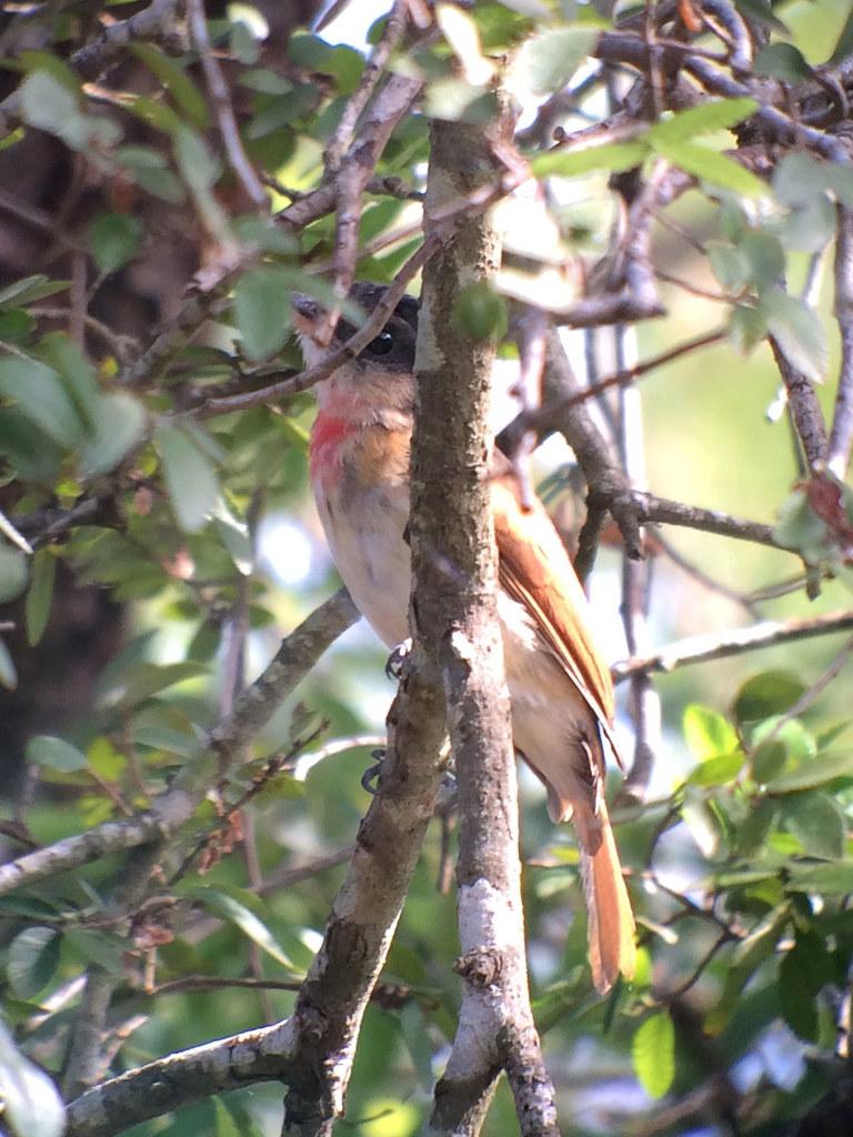 Rose-Throated Becard | Santa Ana NWR, Texas 11 11 13 ebird o