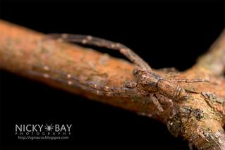 Crab Spider (Tmarus sp.) - DSC_0622