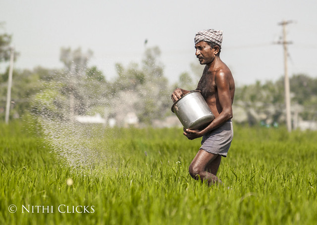 An Indian farmer sprays fertilizer at a paddy field