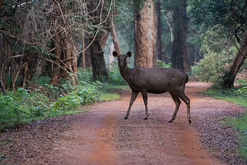 Sambar deer - On alert | by Shanaka Kalubowila