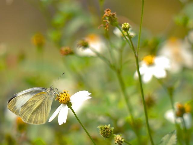 台灣紋白蝶  Pieris canidia