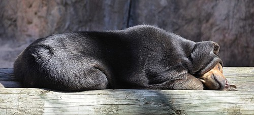 bear texas brownsville sunbear gladysporterzoo helarctosmalayanus smallestbear nikond7000 nikkor18to200mmvrlens