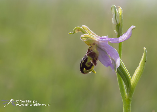 bee orchid Ophrys apifera in Essex in June-2