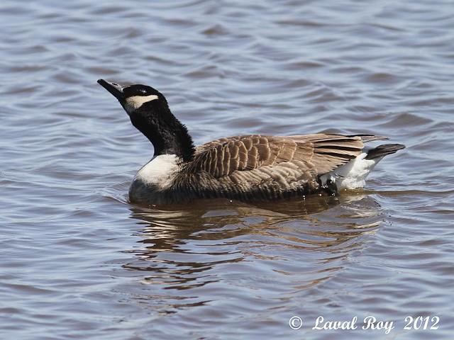 1.00272 Bernache du Canada / Branta canadensis / Canada Goose