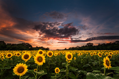 blue sunset summer orange storm green nature field rain yellow clouds petals warm glow farm maryland sunflowers 1740l leaved lineoffire mckeebeshers 5dii jpbenante