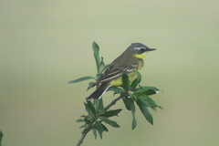 Eastern Yellow Wagtail, 6/22/2013, Dalton Hwy., AK