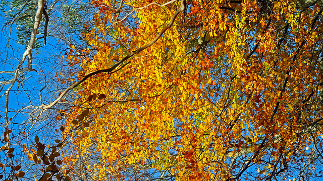 Autumn - BLAST OF BEECH LEAF COLOUR   (#01 in series) - Sherbrooke VIC AU  29May2013 sRGB web