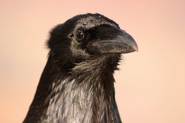 Model Crow