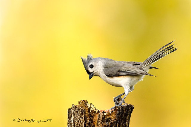 Tufted Titmouse | Explore # 317 on Feb. 2, 2015